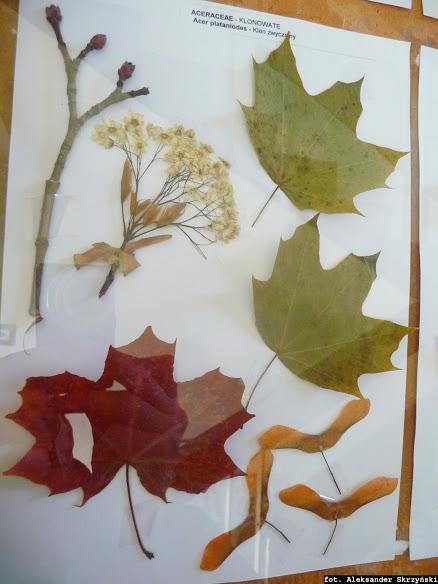 Klon pospolity okaz zielnikowy Acer platanoides