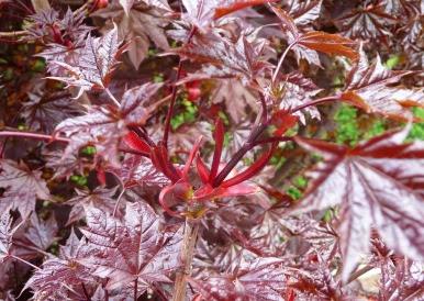 Klon pospolity Crimson Sentry Acer platanoides Crimson Sentry