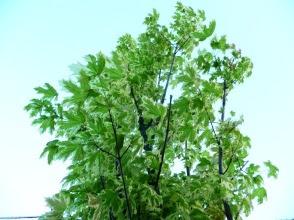 Acer platatanoides drummondii klon pospolity