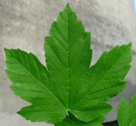 Klon jawor liść Acer pseudoplatanus