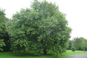 Klon srebrzysty Acer saccharinum pokrój