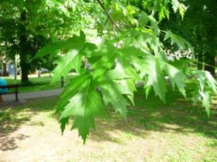 Klon srebrzysty Acer saccharinum liście
