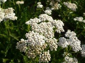 Krwawnik pospolity kwiaty Achillea millefolium flowers