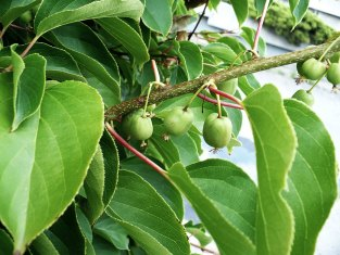 Aktinidia ostrolistna owoc Actinidia arguta fruit