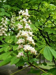 Kasztanowiec zwyczajny kwiatostan Aesculus hippocastanum