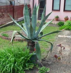 agawa amerykańska Agave americana