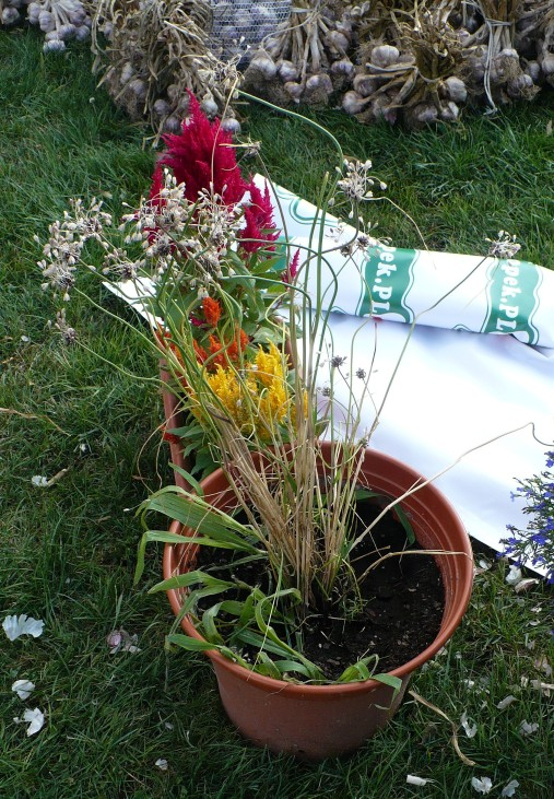 Czosnek zielonawy Allium oleraceaum habit