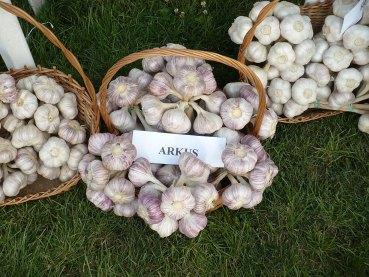 czosnek arkus allium sativum arkus