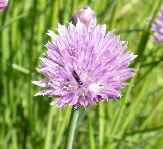 Szczypiorek kwiatostan Allium schoenoprasum bloom