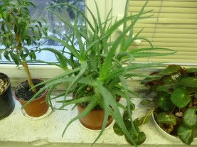 Aloes drzewiasty w doniczce Aloe arborescens