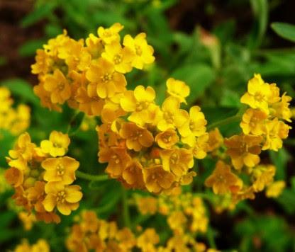 Smagliczka skalna Alyssum saxatile, kwiatostan, flos