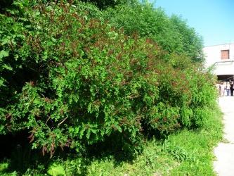 Amorfa zwyczajna pokrój Amorpha fruticosa habit
