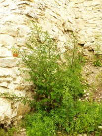 Bylica pospolita Artemisia vulgaris