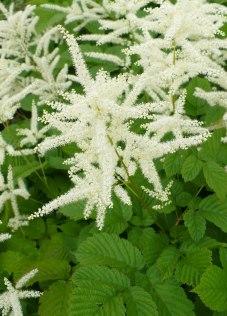 Parzydło leśne kwiaty Aruncus dioicus flowers