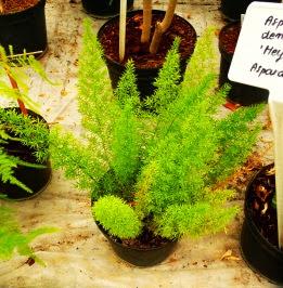 Szparag Sprengera Meyeri Asparagus densiflorus Meyeri