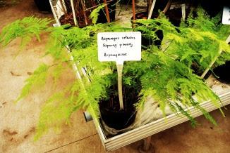 Szparag pierzasty Asparagus plumosus