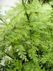 Zanokcica bulwkowata liść, Asplenium bulbiferum leaf