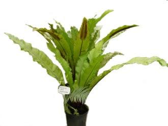 Zanokcica gniazdowa Asplenium nidus