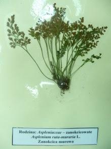 Zanokcica murowa asplenium ruta muraria