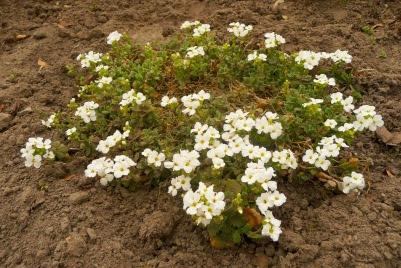 Żagwin ogrodowy aubrieta x cultorum