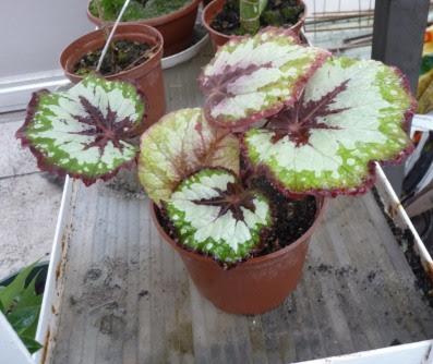 Begonia królewska Begonia rex x cultorum