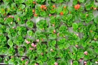 Begonia stale kwitnąca uprawa na stołach Begonia semperflorens