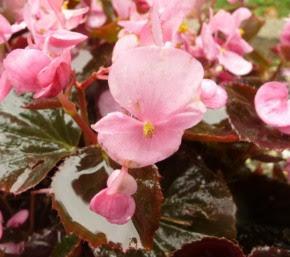 Begonia stale kwitnąca Begonia semperflorens