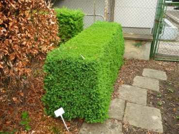 Bukszpan wieczniezielony Buxus sempervirens