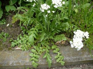 Tasznik pospolity rozeta liści Capsella bursa pastoris