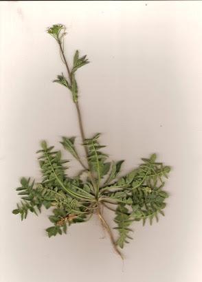 Tasznik pospolity Capsella bursa pastoris
