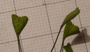 Tasznik pospolity owoc Capsella bursa pastoris fruit