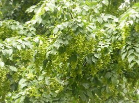 Grab pospolity owoce Carpinus betulus fruits