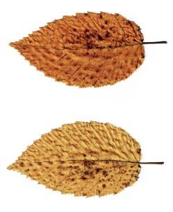 Grab pospolity żywopłot Carpinus betulus