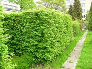 Grab pospolity żywopłot Carpinus betulus hedge