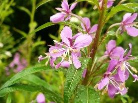Wierzbówka kiprzyca kwiaty Chamaenerion flowers