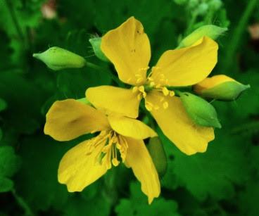 Kwiaty Glistnika jaskółcze ziele