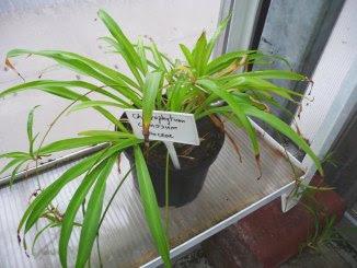 Zielistka Sternberga Chlorophytum comosum