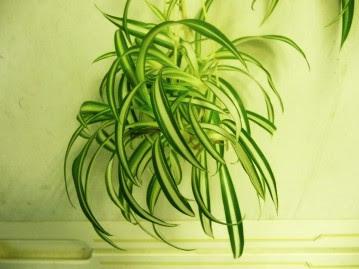 Zielistka Sternberga Vittatum Chlorophytum comosum Vittatum