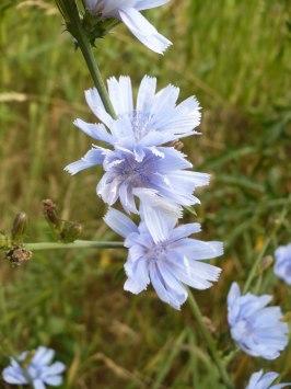 Kwiaty cykorii Cichorium in flower
