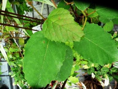 Cisus australijski Cissus antarctica - liść, leaf