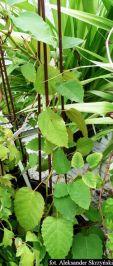 Cisus australijski Cissus antarctica