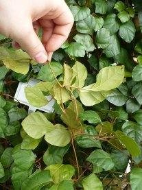 Cissus rombolistny Cissus rhombifolia