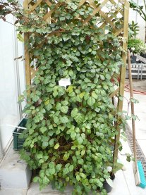 Cisus rombolistny Cissus rhombifolia