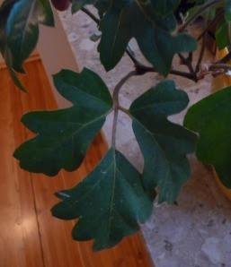 Cisus rombolistny Cissus rhombifolia Ellen danica - liśc