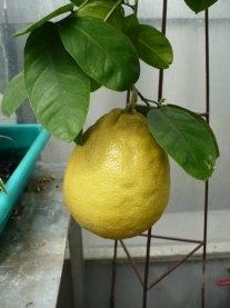 Cytryna owoc Citrus limon fruit