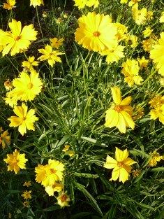 Nachyłek wielkokwiatowy Coreospis grandiflora