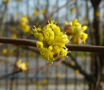 Dereń jadalny kwiat Cornus mas flos flower