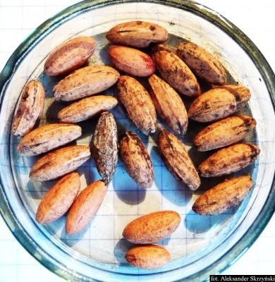 Dereń jadalny naiona Cornus mas semen seeds