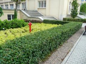 Irga błyszcząca żywopłot Cotoneaster lucidis hedge