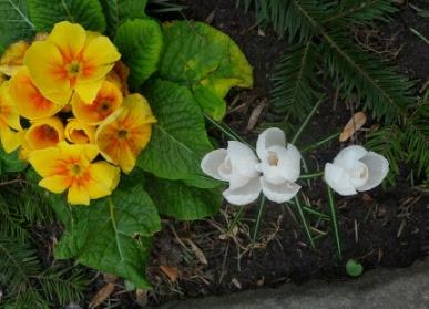 Kokus wiosenny Albiflorus